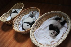 21 Aug 2015, Ya'an, Sichuan Province, China --- Giant panda cubs are pictured in baskets at the Ya'an Bifengxia Giant Panda Breeding and Research Center in Ya'an city, southwest China's Sichuan province, 21 August 2015. Ten tiny panda cubs made their first public appearance at China's Ya'an Bifengxia Giant Panda Breeding and Research Center in southwestern Sichuan province on Friday (21 August 2015). All of the ten giant pandas were born in 2015. The oldest of them is just two month old, while the youngest one was born a week ago. This marks the first time they were put together as a group since they were born. --- Image by © Imaginechina/Corbis
